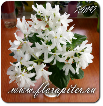 Lunar Lily White (Dates)
