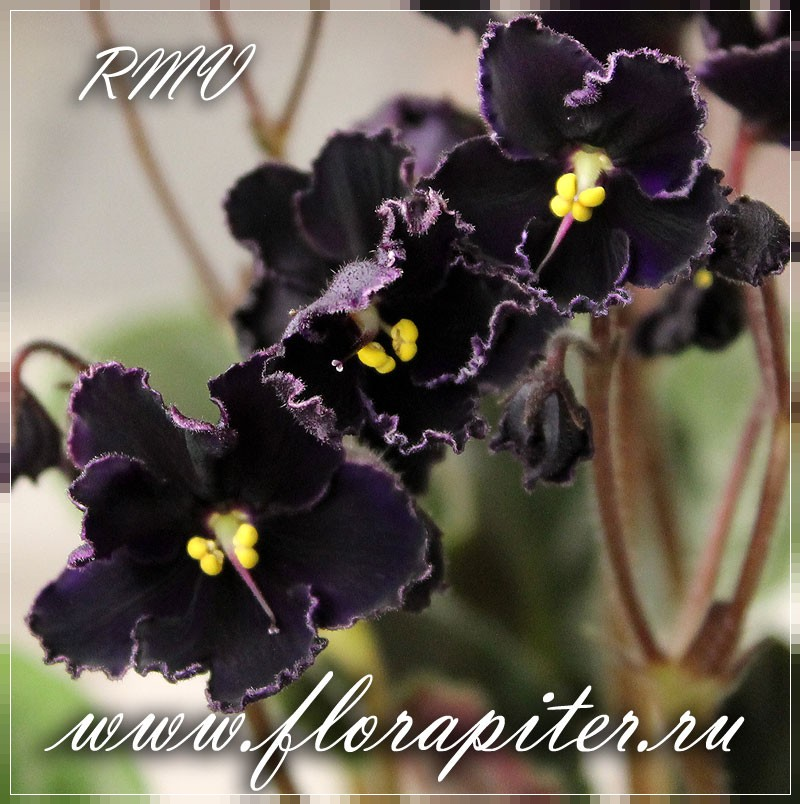 Mac's Black Pearl (G.McDonald)